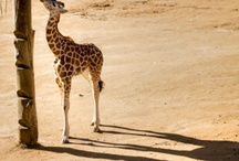 G is for Giraffe / There is something about a Giraffe, its beauty, grace, that has always made it my favorite animal every since I was little.  / by Channing Allard
