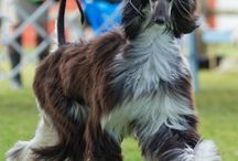 Afghan Hounds  / by Cindy Sherwood