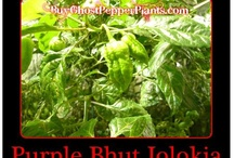 bhut jolokia peppers,  seeds, plants / by Bhut Jolokia