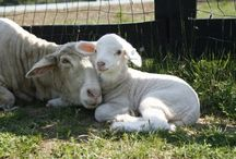 Sheep, Lambs, Goats & Kids! / As a knitter and fiber lover I'm fascinated by sheep, lambs and other animals that produce fabulous fleece!  / by Carla Bryant