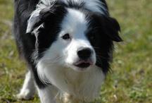If it's not a Border Collie - it's JUST a dog / by Mona Balmer