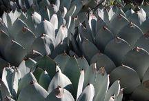 agave / succulents / cacti  / by jj de sousa