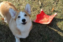 MAX The Cottage Corgi  / The best  puppy dog ever!  / by Debbie Bosworth