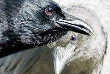 Crows / by Borah Pavick