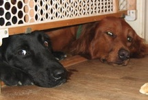 dogcrazy / Crazy with love for dogs, all thanks to one incredible Golden named Shiva aka the Red Dog. / by Debra Douglas