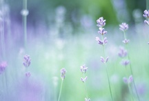 lavender love / by Mary Kathryn