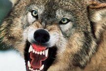My pride wolves / by Beth Pahel