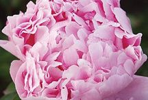 Flowers, Peony's and Roses / My favorite flowers. Peony's and roses. a collection of my favorites.  / by INCOGNITO ..
