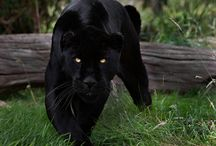 Panther / by Julia Phillips Smith