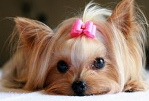 Yorkshire Terriers / by R C