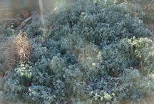 Winter-persistent foliage / by Nebraska Statewide Arboretum