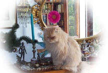 Mr. Brandy / Brandy was a cute persian cat who lived with my family for 8 years, gave us immense love and was loved and spoiled in return. Goodbye baby Brandy! <3 / by Marged divadellecurve