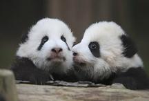 Precious Pandas / by Mar Hearts Chris Forever