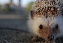 Hedgehogs / by Jean Storrs