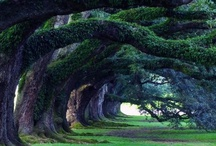 Live oak trees / by Yvonne Maylon