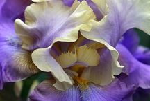 Iris flowers / by Jenny Maguire