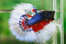 Animals-Fish-Betta / by fredda/fred Kellogg-McMahon
