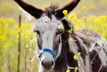 Gentley brays the donkey! / by diamond paws