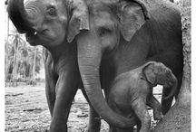 Elephants, the gentle giants / by Wendy Chamberlain