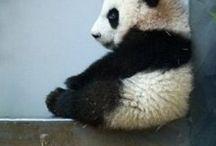 Panda obsession..... / by Kelly Howard