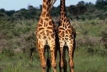 Giraffes (<3 Mom!) / by Kaila Parmalee