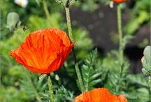 Papaveraceae (Poppies) / by Lenka Vinogradova