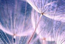 Dandelions / by Carey Cronin