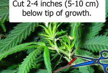 How to Clone Marijuana / View entire picture tutorial on marijuana cloning: http://growweedeasy.com/complete-guide-cloning-marijuana / by Nebula Haze