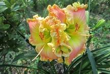 Flowers.......Daylilies / by Sue Wiggins