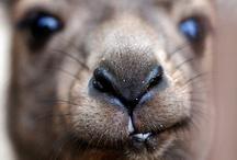 Kangaroo / by Trendbubbles
