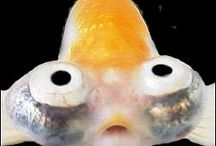Goldfish / Goldfish are all the same species, but they vary greatly in shapes. They live best in a large cool water aquarium or a pond but not in a fish bowl. To see more Goldfish click on a link below one of the pictures on this page or go to ... http://www.AquariumFish.net/catalog_pages/goldfish_and_koi/goldfish_table.htm#top2 / by AquariumFish .net