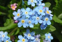 Forget Me Not Flowers / by Teresa Rickard Parish