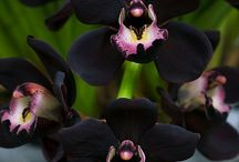 Orchids / Orchids I would like to have or already own / by Iris Trapp