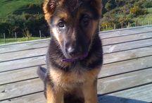 Adorable German Shepherd <3 / by Chelsea Wilson