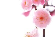 Cherry Blossom Shoot / by Serena Jae