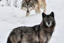 Wolf Love / by Dark Wolf