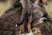 Cheetahs own my heart.  / by Rebecca Spraggins