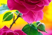 I Love Roses / by Rajinder Bedi