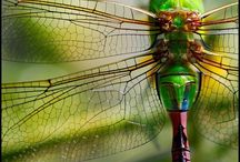 Dragonflies / by Obsession With Butterflies