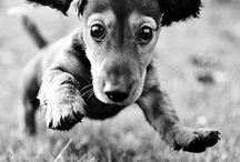 Dachshunds!! / by Julie Hogan