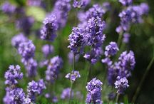 LAVENDER / SUCH A LOVELY SCENT! / by Susan Maze