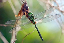 Dragonflies / by Margo Bangert