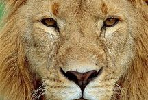 Lions, Tigers and other large felines / Their sheer strength and beauty are awesome. / by Linda Swoboda