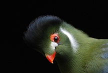 birds  / Gorgeous birds from around the world ---- bee-eater, cardinal, cockatoo, cuckoo, eagle, flycatcher, gallah, hoopoe. macau, magpie, penguin, starling, tit, tucan, turaco, white eye, woodpecker / by Lilly Lu