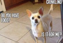 Chihuahua / by Honey Barron