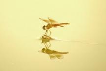 Dragonfly / by Janene Imgrund