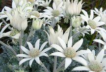 Serendipity... Natives / Australian Native Plants & Flowers / by Serendipity Garden Designs