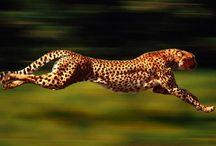Cheetah stuff! / by Cleta Colson