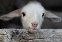 """A LITTLE SHEEPISH / """"My sheep listen for my voice.  I know them, and they follow me.""""  John 10:27  I love sheep and have collected them for many years.  Such a beautiful picture of how The Father cares for us. / by Tonja Owens"""