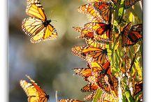Butterflies / by BVS Books